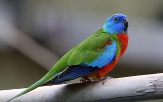 Небольшие травяные попугаи