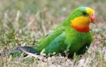 Содержание барабандовых попугаев