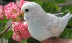 Белые волнистые попугаи: особенности альбиносов и их разведение