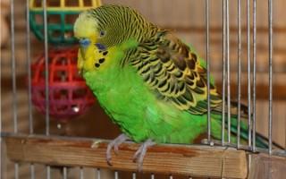 Что делать если у попугая судороги и прочие симптомы расстройства ЦНС