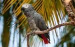 Говорящий попугай жако: обучение словам и фразам