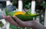 Сенегальский длиннокрылый попугай: описание вида и приручение