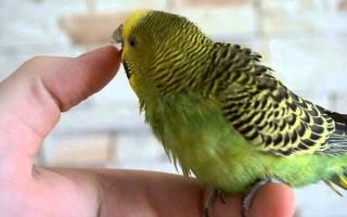 Попугай кусается и проявляет агрессию