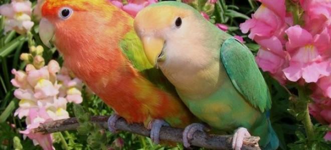 Попугаи неразлучники и все что вы хотели о них знать