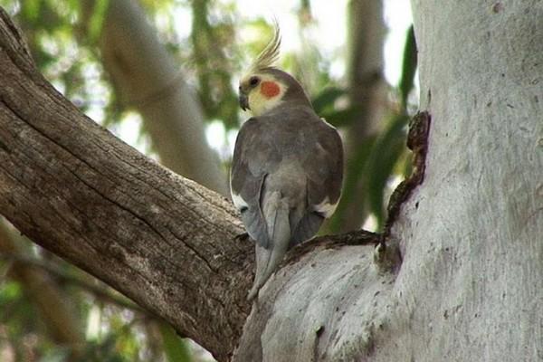 Сидящий на дереве попугай нимфа