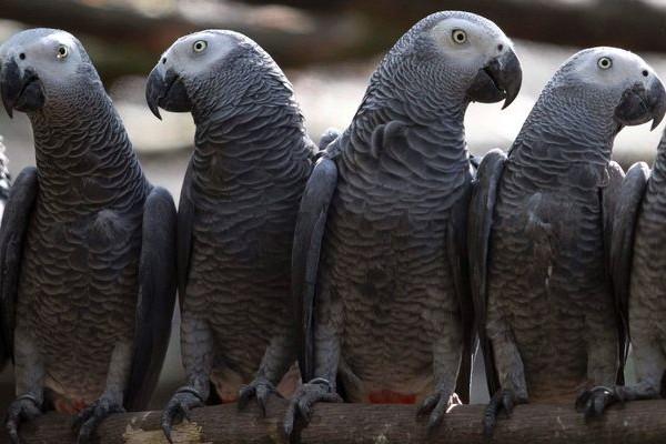 Какой окрас у попугаев Жако