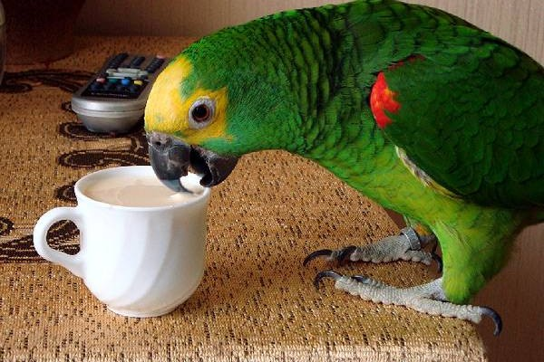 Попугай с чашкой