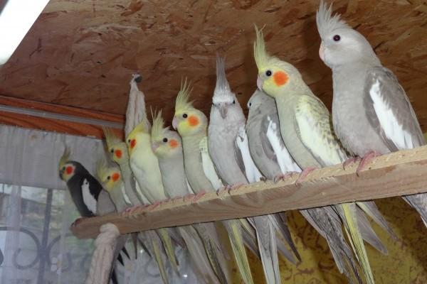 Попугаи на жердочке