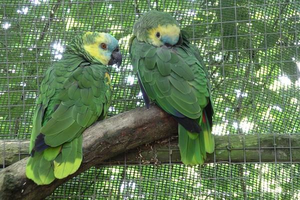 Нахохлившиеся попугайчики