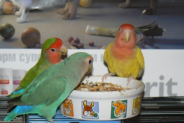 Попугаи у кормушки