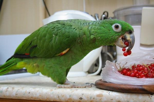 Попугайчик с ягодами