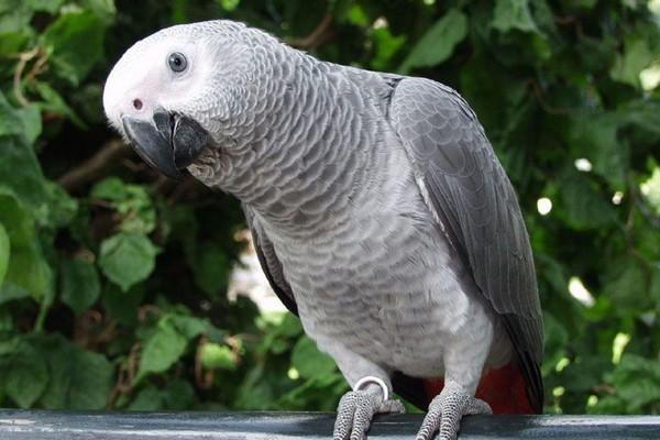 Любопытный попугай