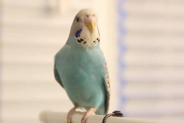 Свое чириканье попугай, как правило, исполняет под музыку