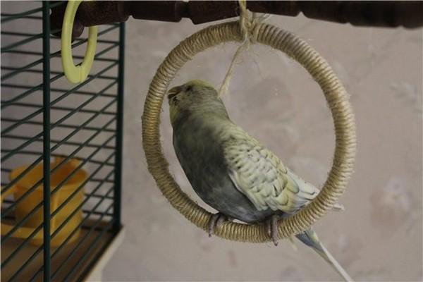 Попугай на качельке