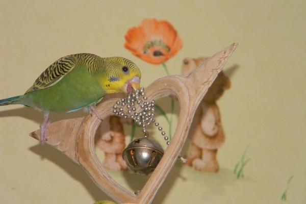 Попугай играющий с игрушкой