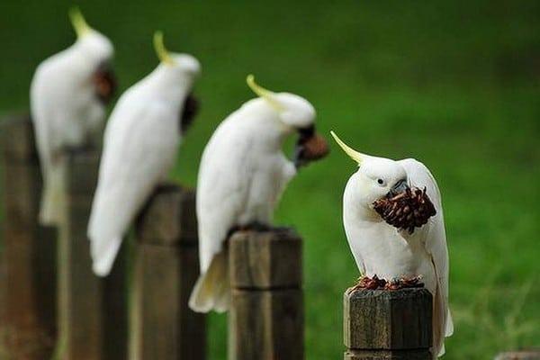 Четыре какаду
