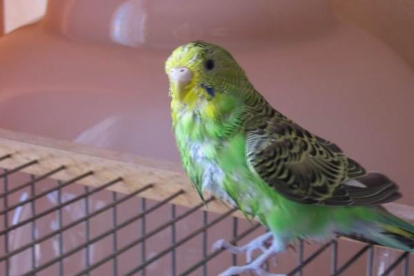Линяющий попугай
