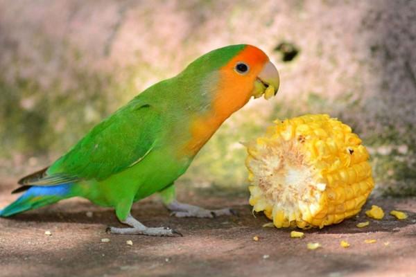 Попугай и кукуруза