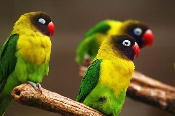 Отдыхающие на ветке попугаи