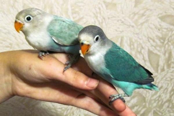 Сидящие на руке попугаи