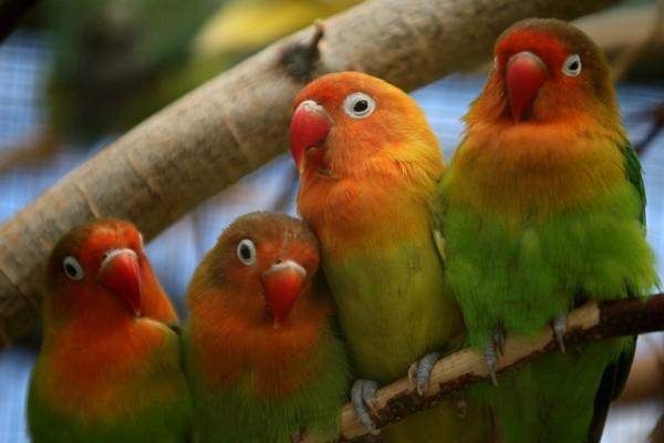 Четыре попугая