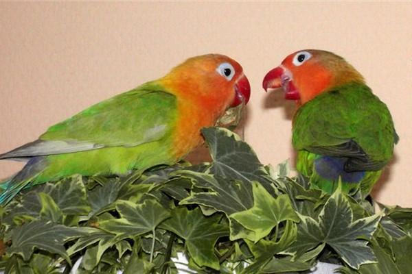 Играющие попугаи
