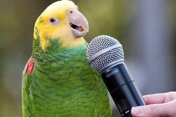 Как поет волнистый попугай на фото