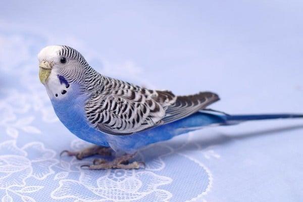 Чтобы начать слушать пение попугаю можно включить музыку