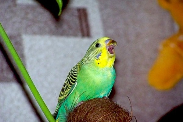 Чириканье волнистого попугайчика