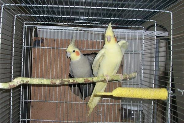 Сидящие на жердочке попугаи