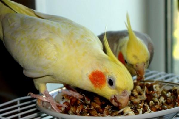 Попугаи и лакомства