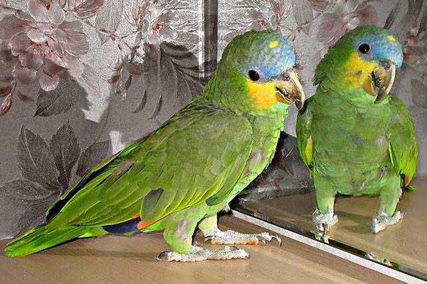 Птичка напротив зеркала