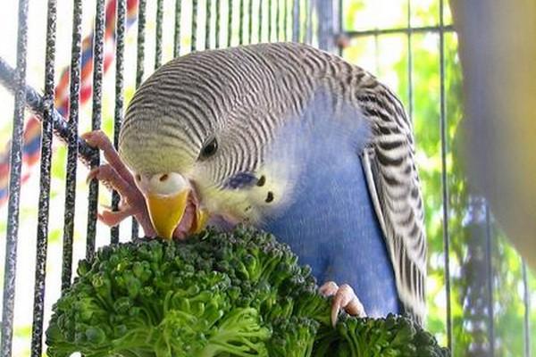 Зелень для попугая