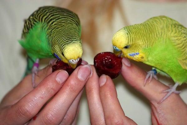 Попугайчики и вишня