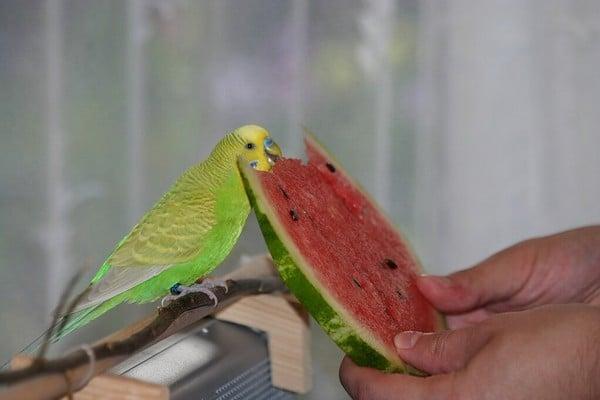Попугайчик и арбуз