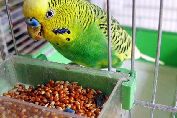 Кормление волнистого попугая из кормушки