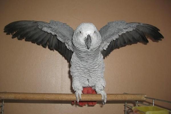 Расправивший крылья попугайчик