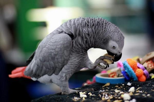 Играющий попугай