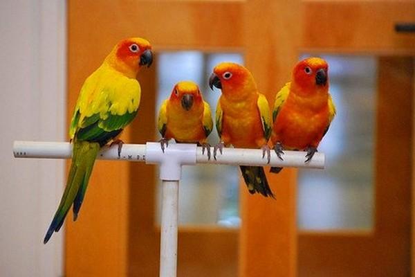Сидящие на насесте попугаи