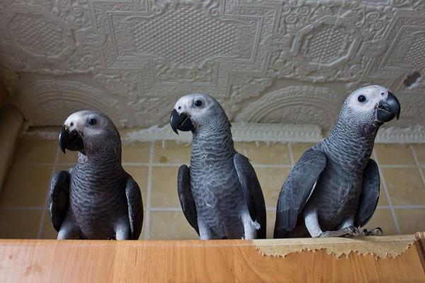 Три попугайчика