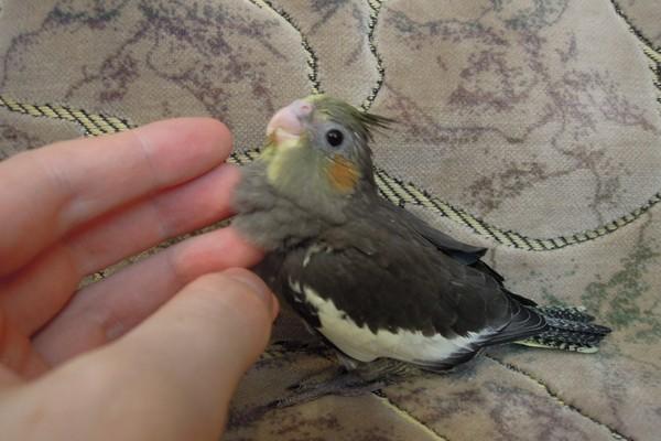Молодой попугайчик
