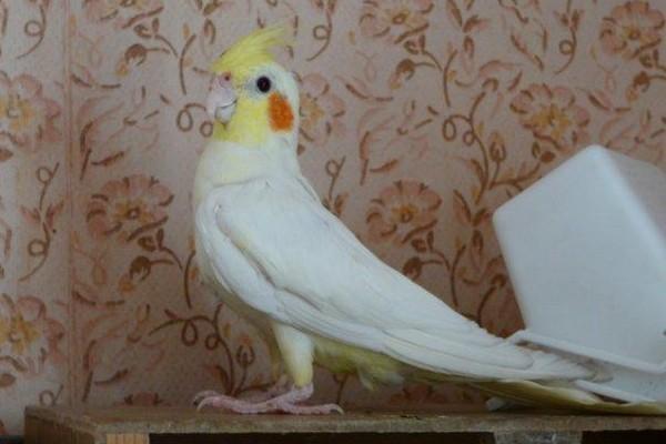 Белый попугай