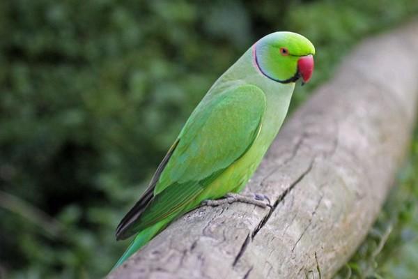 Попугайчик на бревне