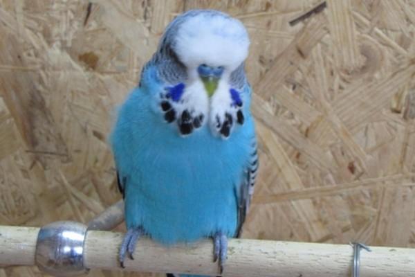 Волнистый попугайчик чех