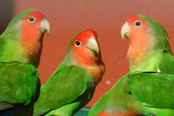Несколько попугаев