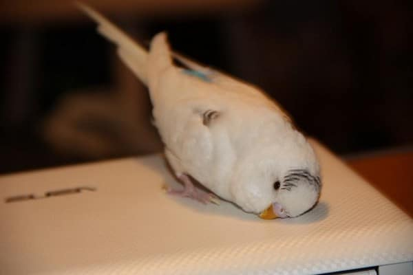 Попугайчик белого цвета