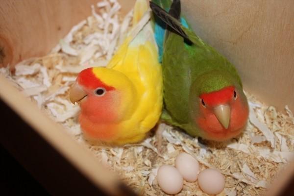 Волнистый попугай снес яйцо: что делать?