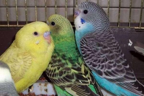 Оперение птенцов