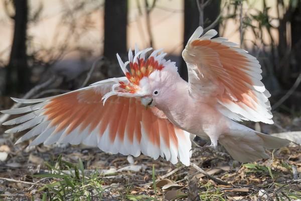 Какаду с раскрытыми крыльями