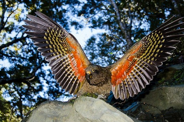 Крылья кеа